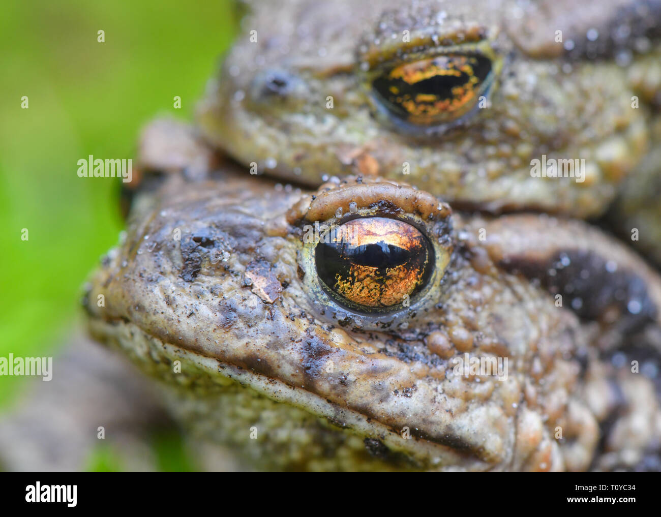 Sauen, Germany. 22nd Mar, 2019. A pair of earth toads (Bufo bufo) crawls over moss on the edge of a small pond in the forest of the August Beer Foundation. Due to the mild spring weather, the toads' migration to their light waters is in full swing. Credit: Patrick Pleul/dpa-Zentralbild/dpa/Alamy Live News - Stock Image