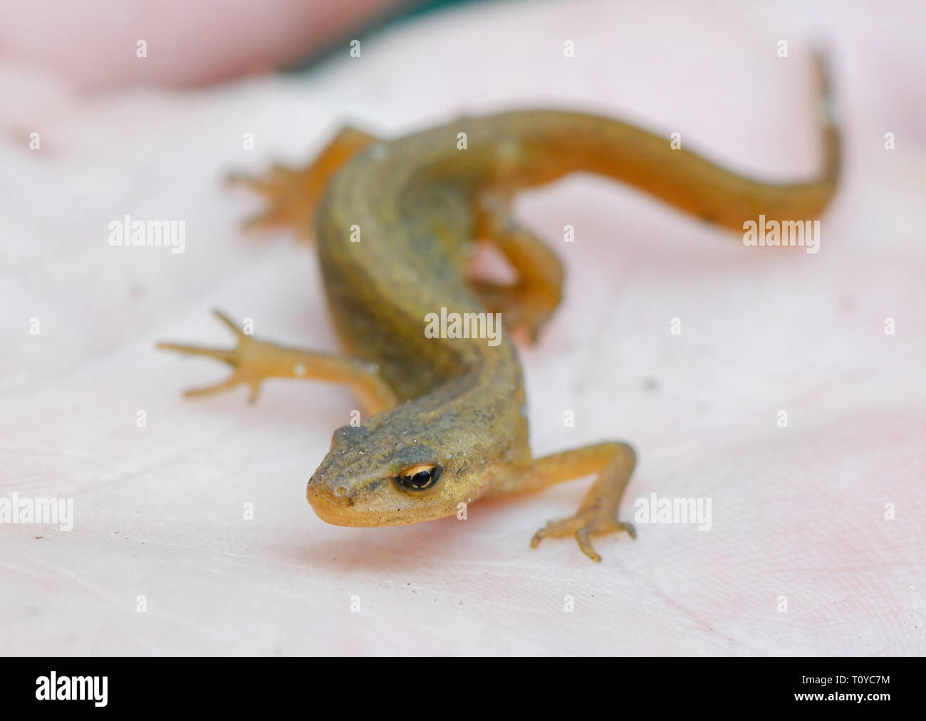22 March 2019, Brandenburg, Sauen: A female pond newt (Triturus vulgaris) can be seen on the hand of a conservationist in the forest of the August Bier Foundation. Due to the mild spring weather the migration of newts and toads to their light waters is in full swing. Photo: Patrick Pleul/dpa-Zentralbild/ZB - Stock Image