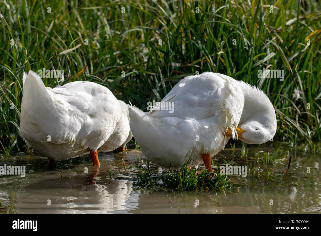 White Long Island duck also known as Aylesbury or Pekin duck - Stock Image