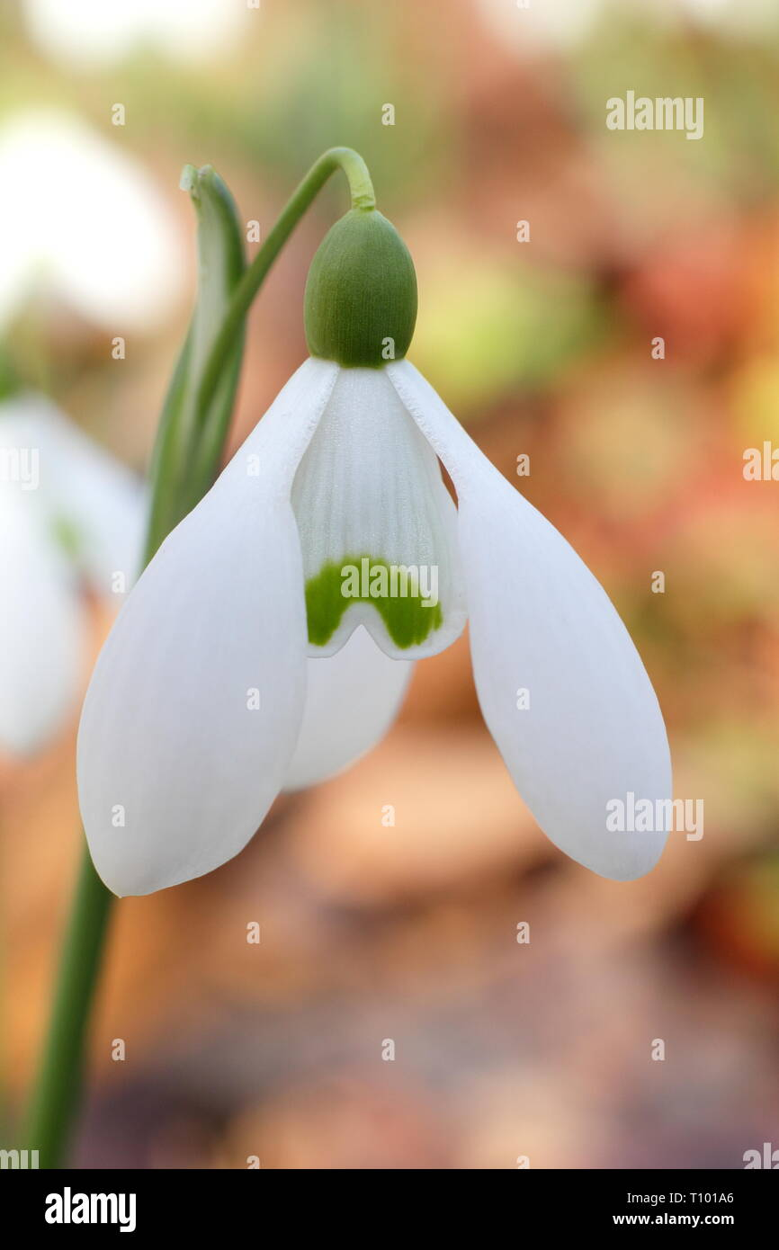 Galanthus nivalis. Detail of the fragrant common snowdrop in an English garden border - February, UK. AGM - Stock Image