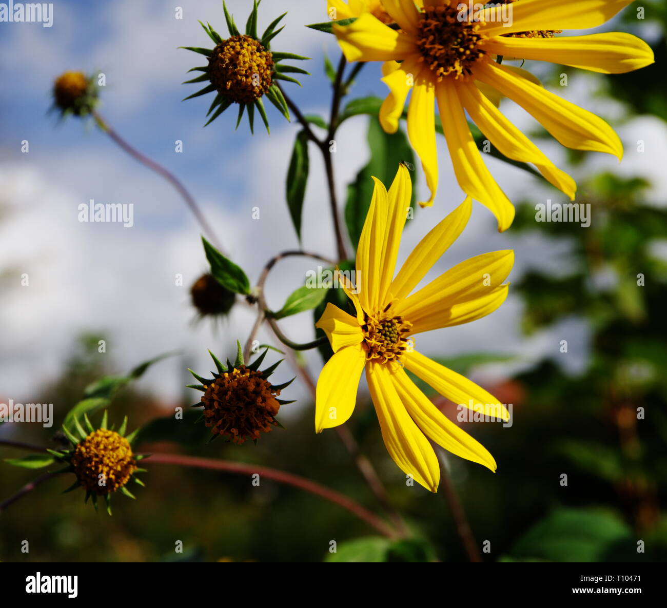 yellow blooming sun hats in front of blue sky - Stock Image