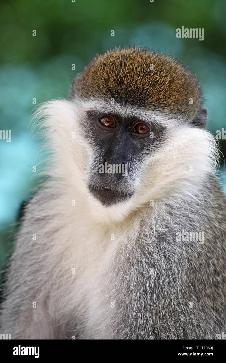 Vervet Monkey Chlorocebus pygerythrus - Stock Image