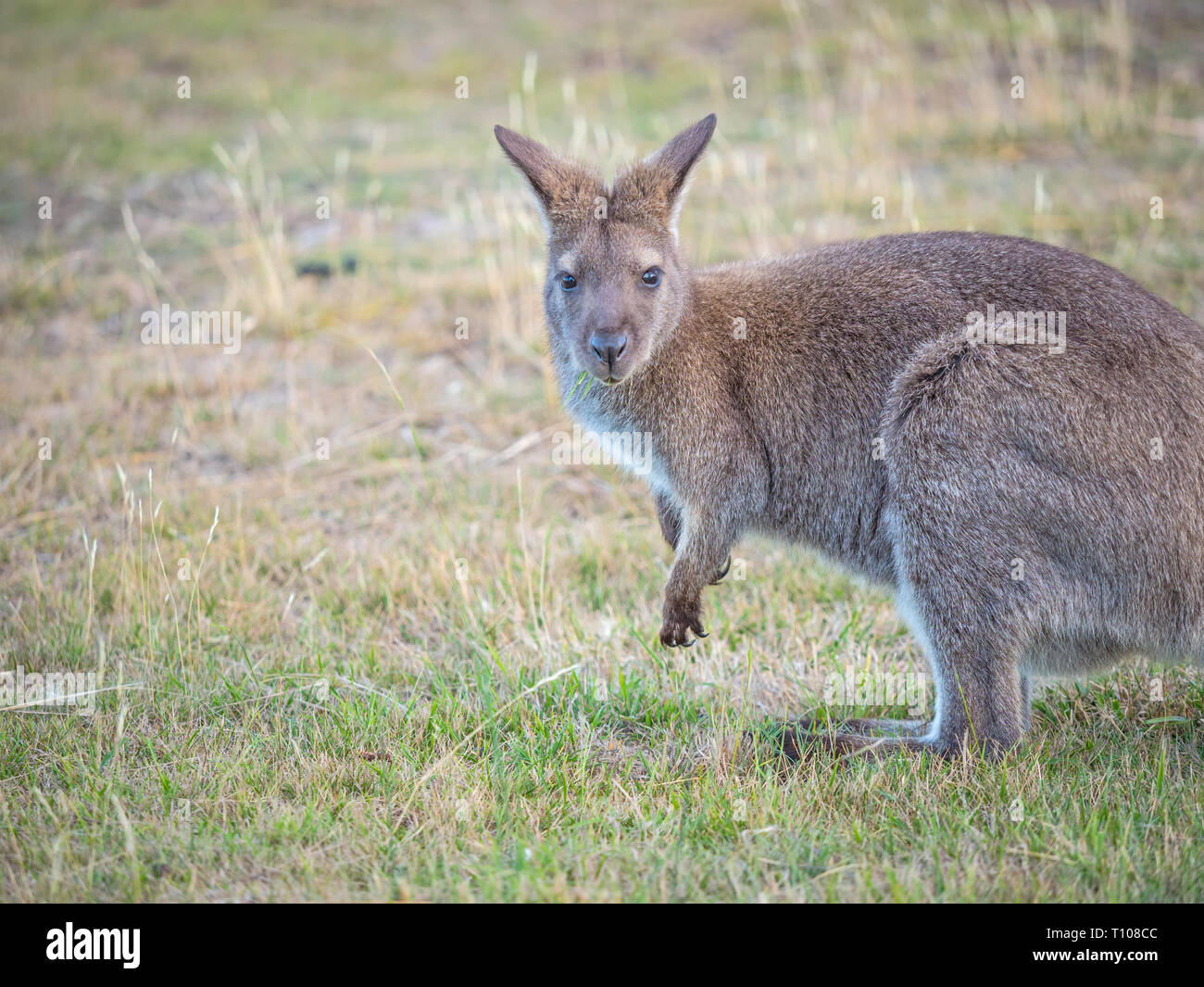 The red-necked wallaby or Bennetts wallaby (Macropus rufogriseus) is a medium-sized macropod marsupial found in Australia. Stock Photo