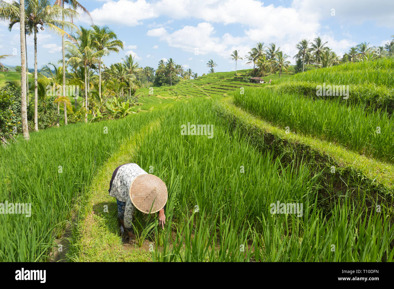 e2ecc6d9f Female farmer wearing traditional asian paddy hat working in beautiful  Jatiluwih rice terrace plantations on Bali