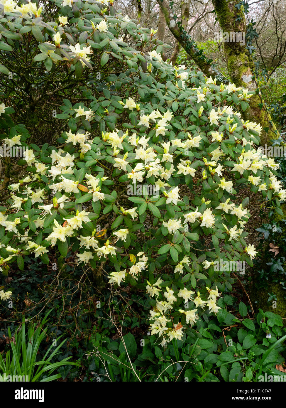 Pale Yellow Early Spring Flowers Of The Compact Evergreen Shrub