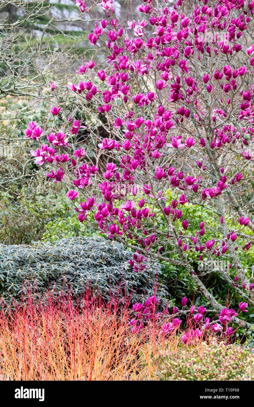 Magnolia 'Shirazz' above the red winter stems of Cornus 'Amy's Winter Orange' at The Garden House, Buckland Monachorum, Devon, UK - Stock Image
