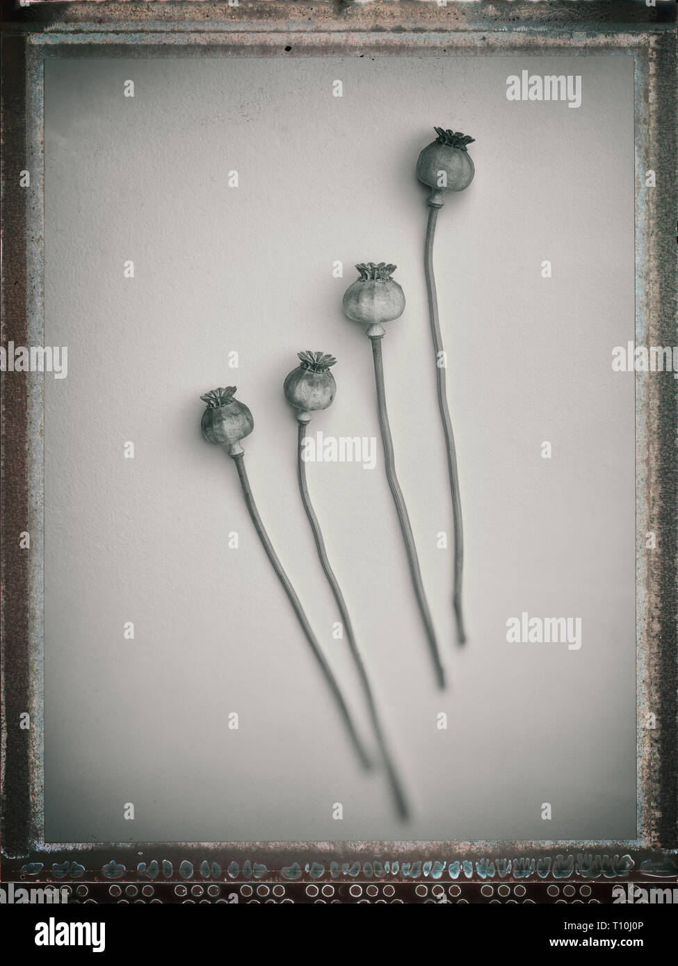 black and white image of dried poppy plants on a plain background - Stock Image