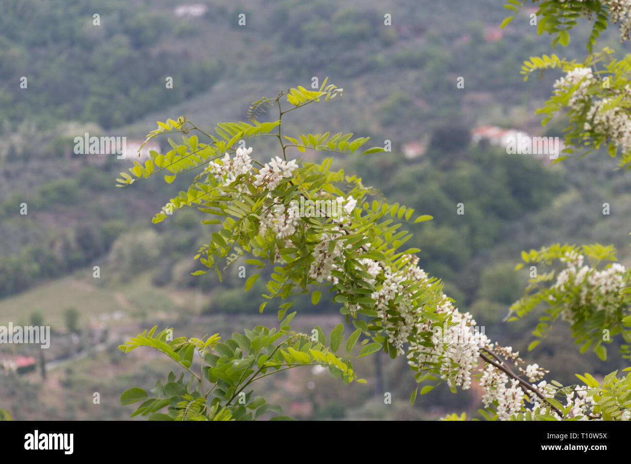 The view of white acacia flowering branch. Abundant flowering acacia branch of Robinia pseudoacacia. - Stock Image
