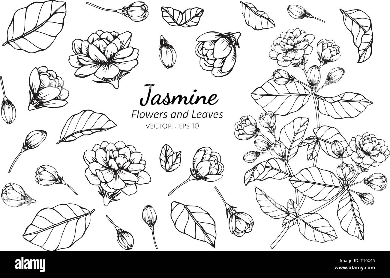 Collection Set Of Jasmine Flower And Leaves Drawing Illustration
