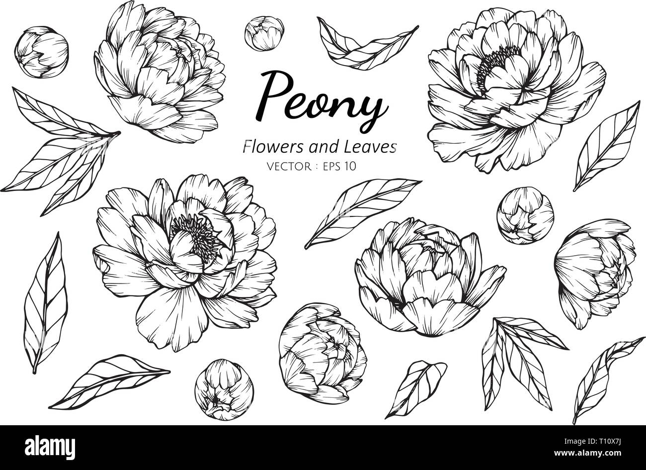 Collection Set Of Peony Flower And Leaves Drawing Illustration For Pattern Logo Template Banner Posters Invitation And Greeting Card Design Stock Vector Image Art Alamy