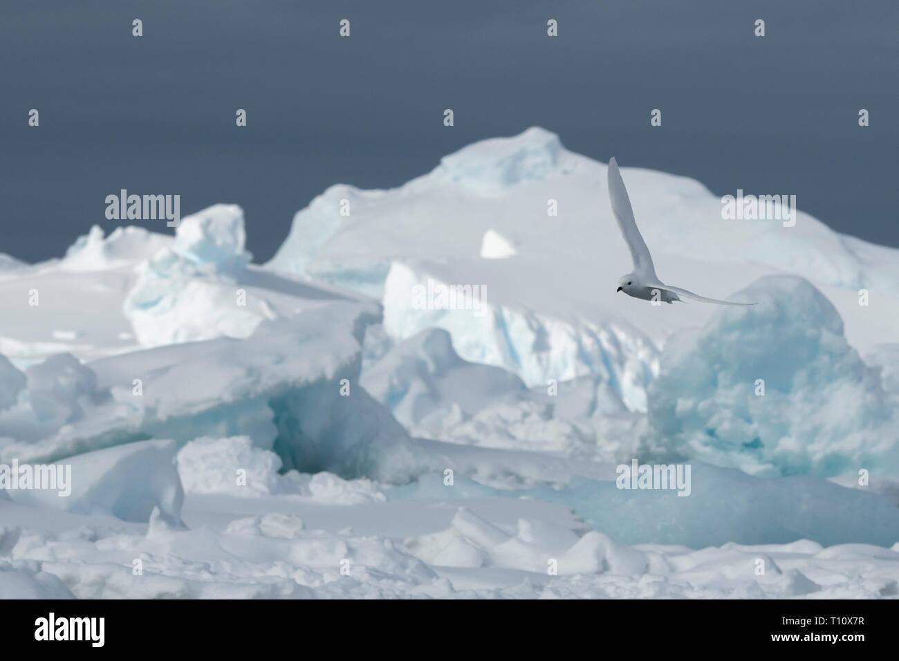 Antarctica, below the Antarctic Circle, Crystal Sound. Snow petrel (WILD: Pagodraoma nivea) in flight over icebergs. - Stock Image