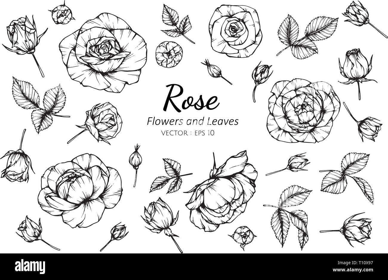 Collection Set Of Rose Flower And Leaves Drawing Illustration For Pattern Logo Template Banner Posters Invitation And Greeting Card Design Stock Vector Image Art Alamy