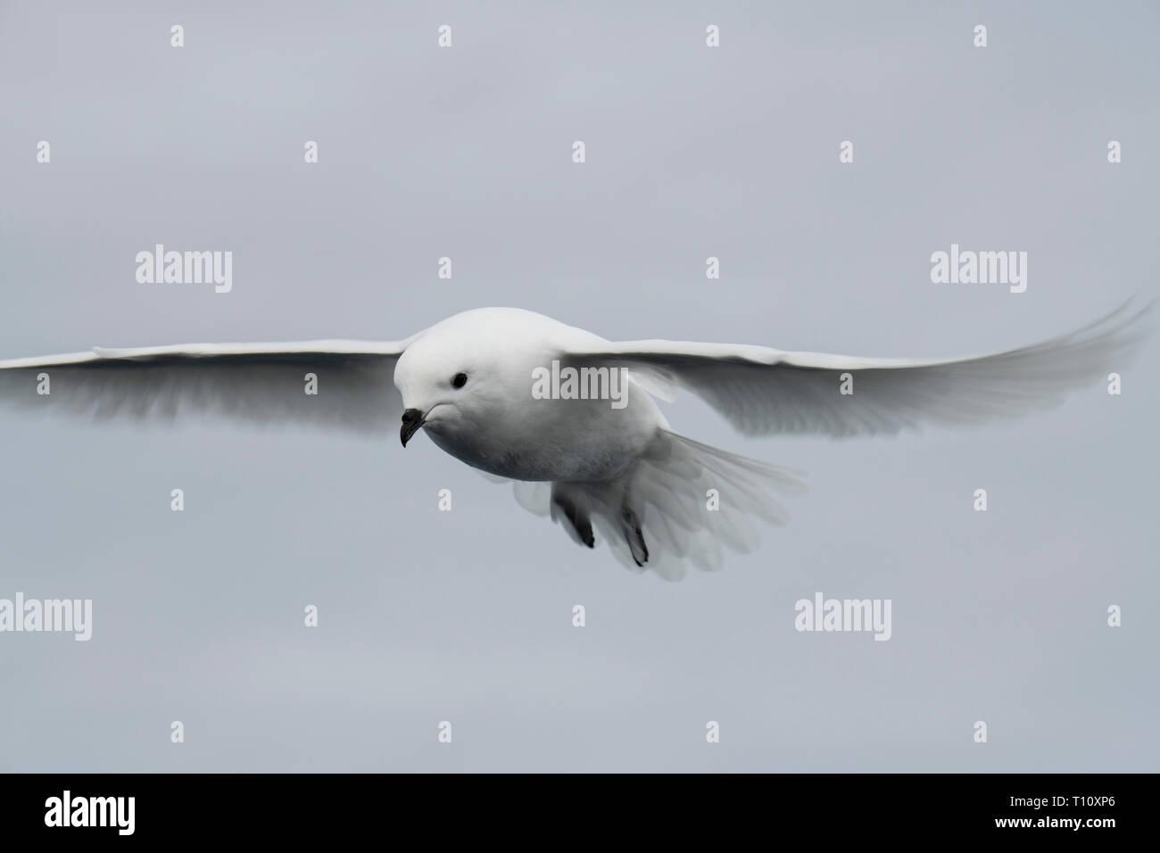Antarctica, below the Antarctic Circle, Crystal Sound. Snow petrel (WILD: Pagodraoma nivea) in flight - Stock Image