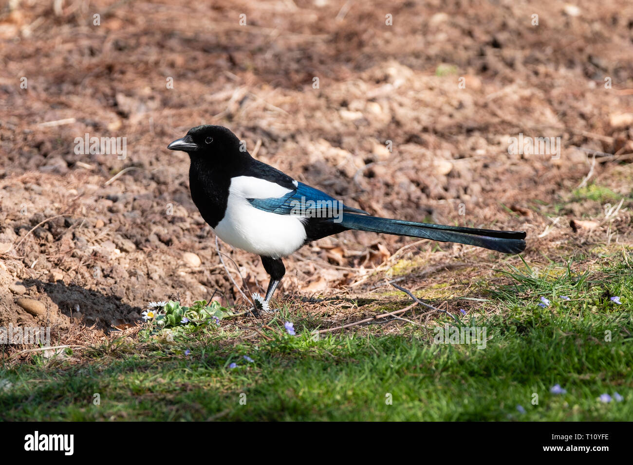 A magpie on the ground - Stock Image