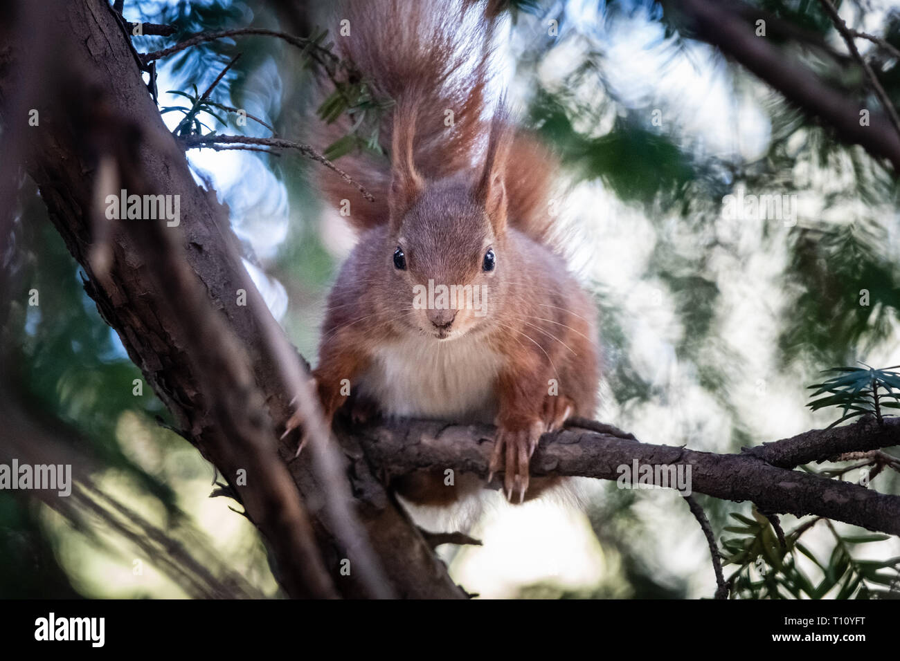 squirrel in a tree - Stock Image