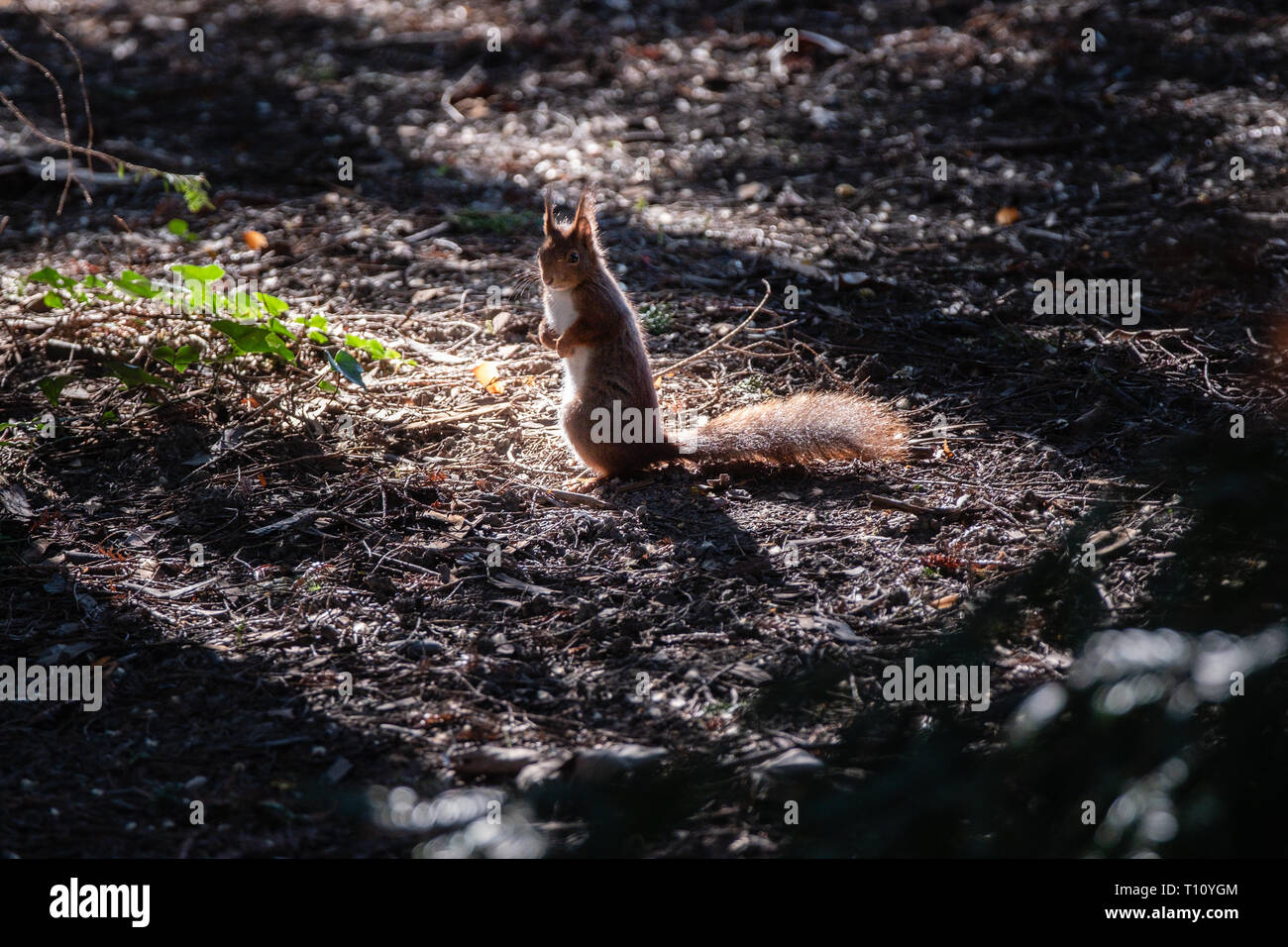 squirrel standing on its hind legs in the woods - Stock Image
