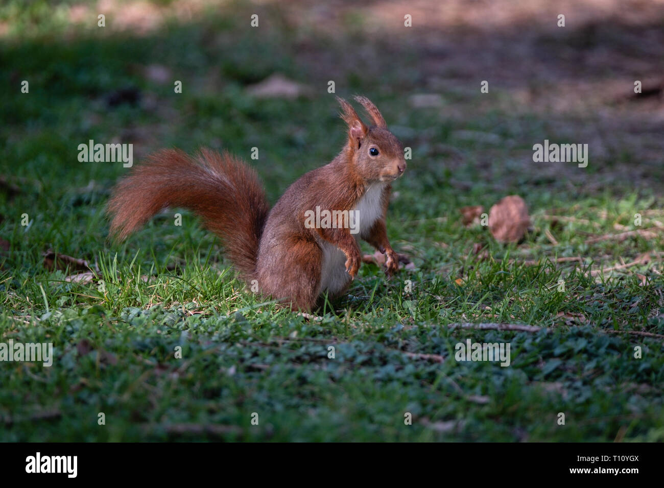 squirrel in the grass - Stock Image