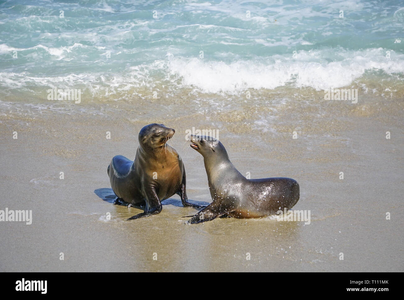 Sea Lions playing in the ocean surf off the California Coast Stock Photo
