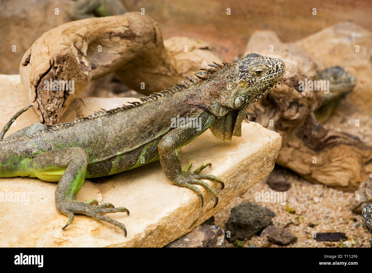 A giant green iguana, or American iguana, in the deserts of Baja California del Sur in Mexicxo - Stock Image
