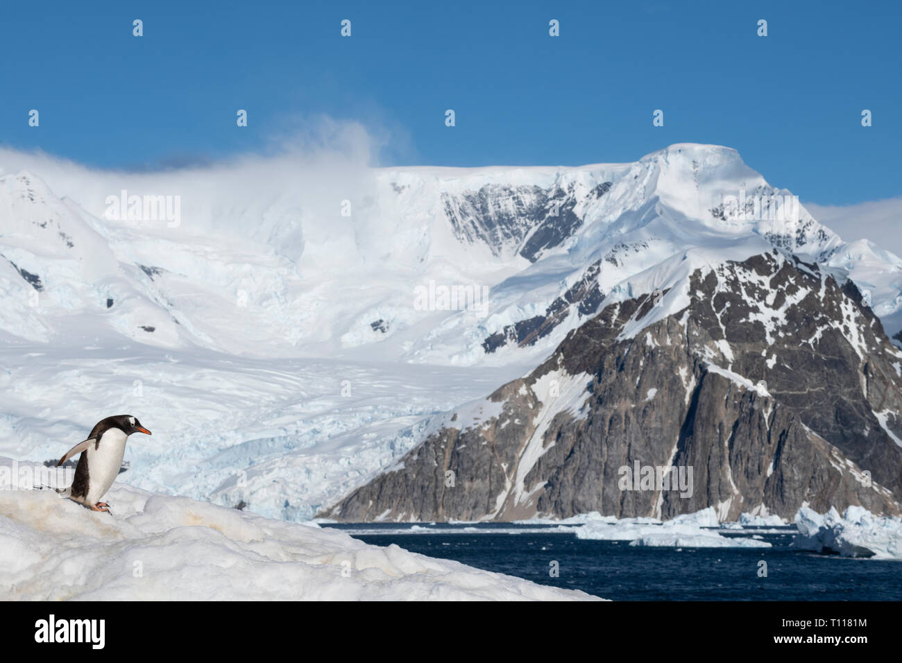 Antarctica. Neko Harbour (on the Antarctic continent) on the eastern shore of Andvord Bay, just south of the Errera Channel. Gentoo penguins (WILD: Py Stock Photo