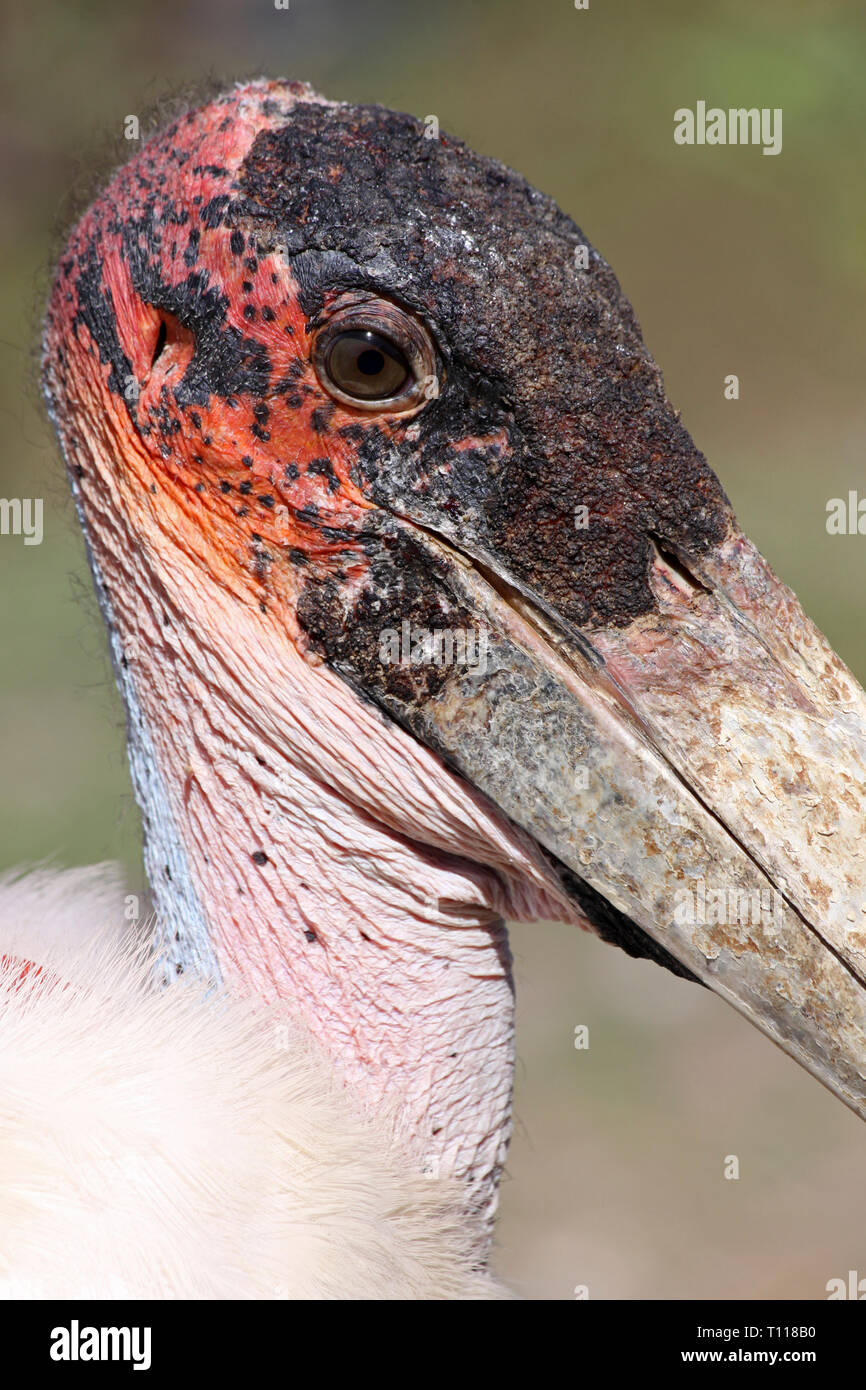Marabou Stork Leptoptilos crumenifer, Lake Awasa, Ethiopia - Stock Image