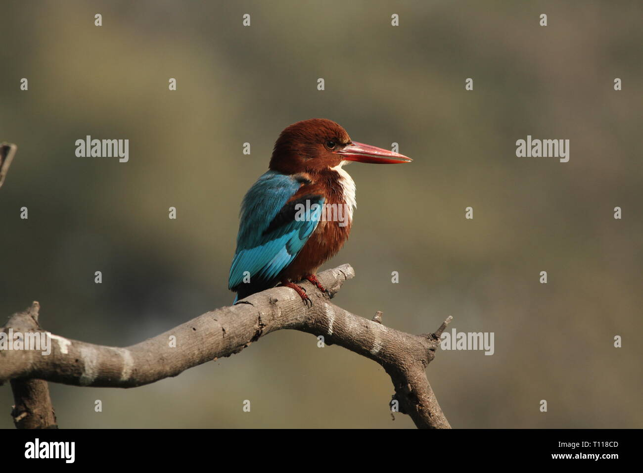 White-throated kingfisher on tree in Keoladeo National Park, Bharatpur - Stock Image