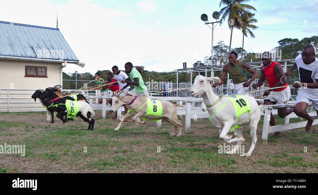 Goats racing with their owners in Bucco Tobago - Stock Image