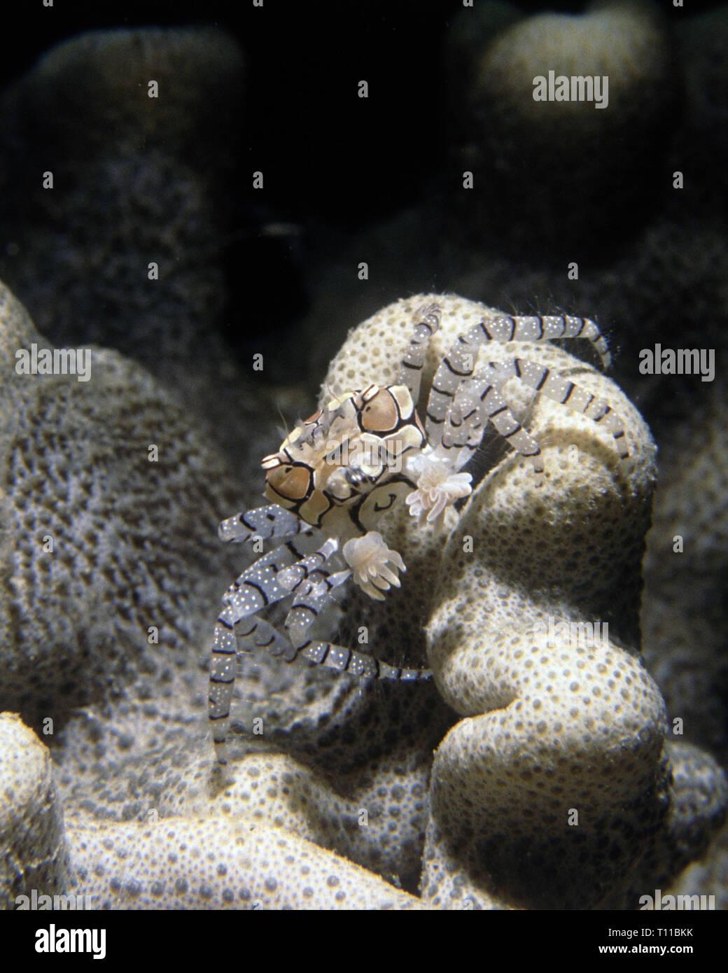 Boxing crab (Lybia tessellata) - Stock Image