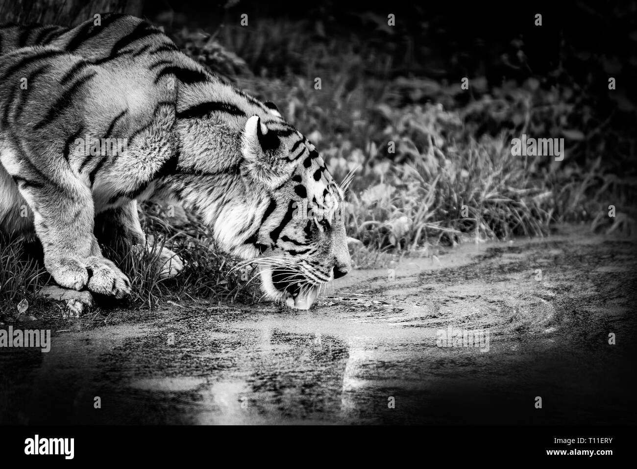 Siberian Tiger drinking from a pond. - Stock Image