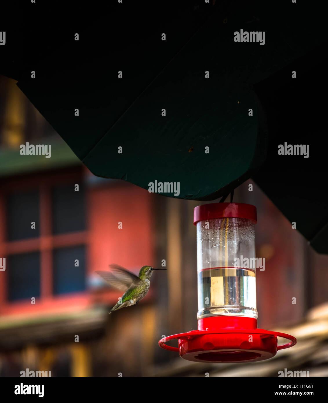 Thirsty hummingbird - Stock Image