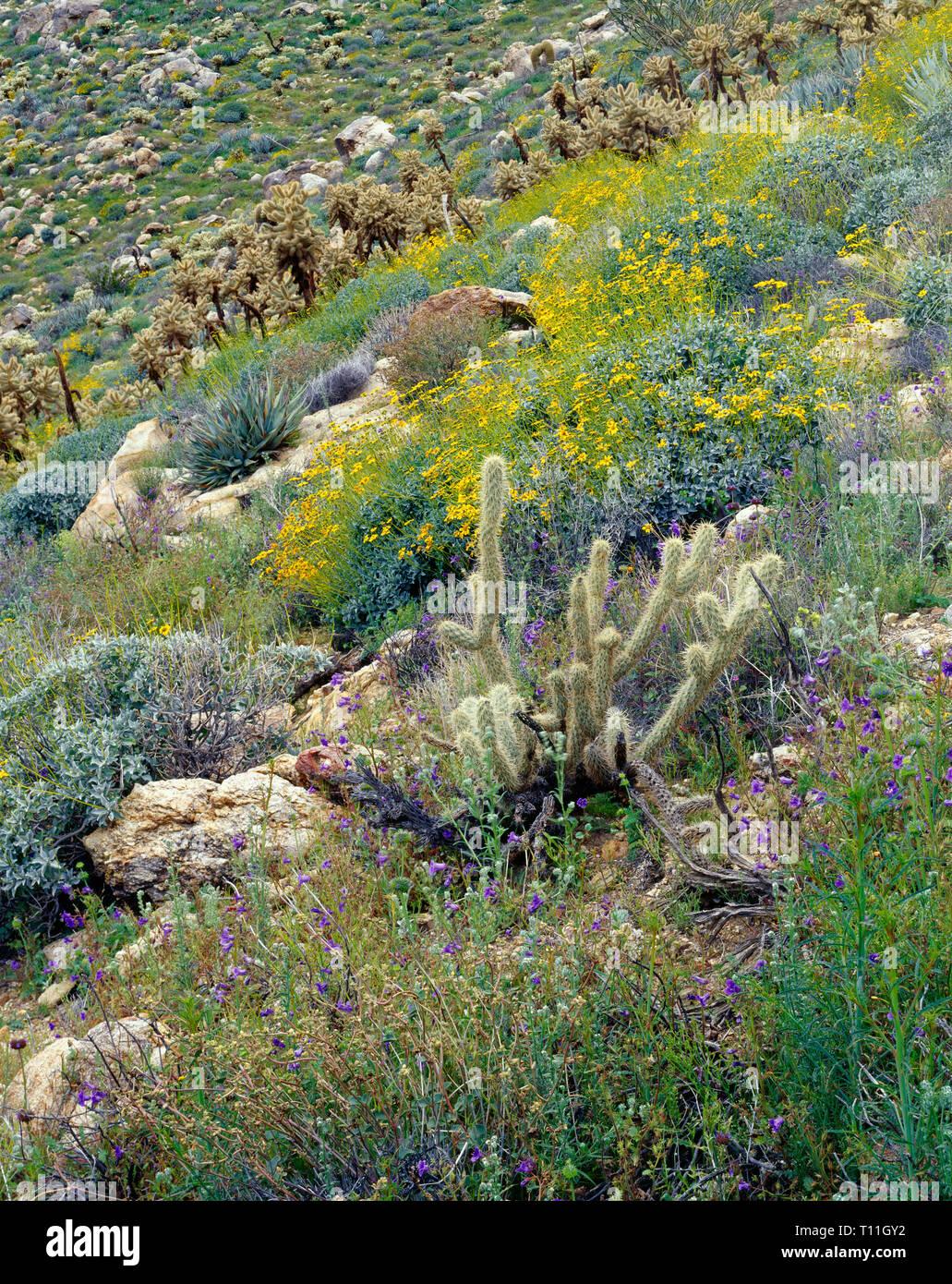 USA, California, Anza Borrego Desert State Park, Notch-leaved phacelia and brittlebush bloom among teddybear cholla in Mason Valley. Stock Photo