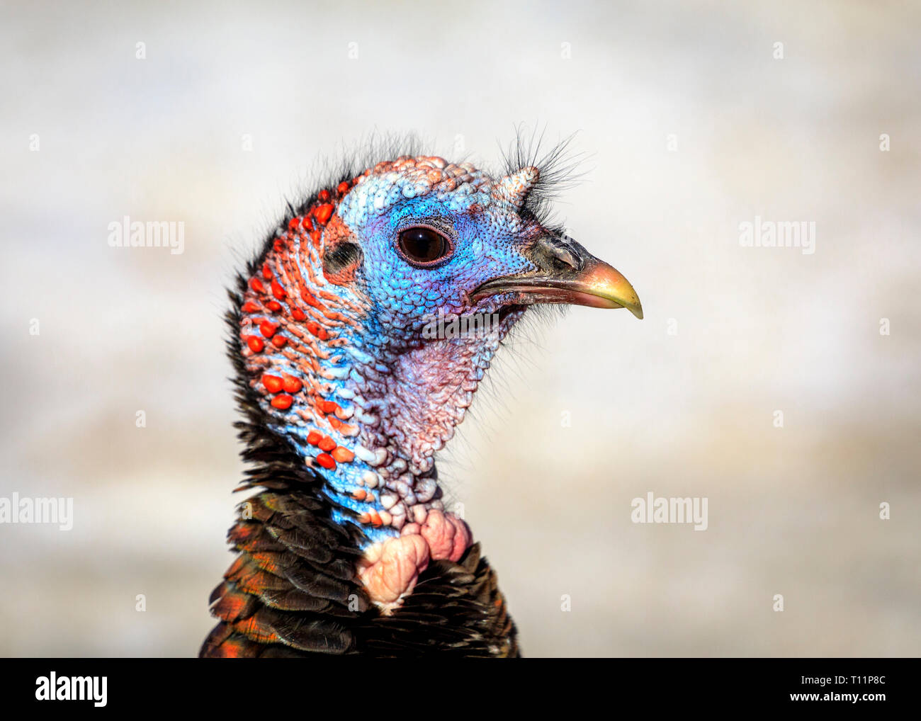 Wild Turkey, hen, close up, Manitoba, Canada. - Stock Image