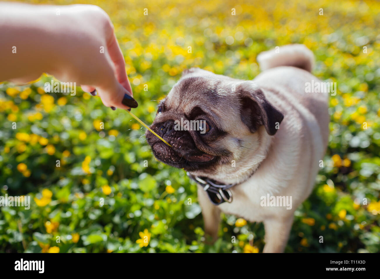 Woman playing with pug dog. Puppy caught flower. Dog walks in forest among yellow flowers. Happy pug dog - Stock Image