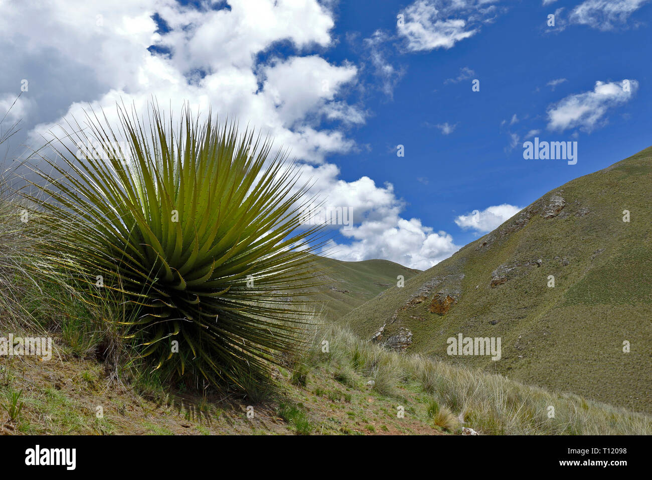 Beautiful specimen of Titanca (Puya raimondii) a species of endemic flora of the Andean region of Peru and Bolivia; In this case, a detail of the plan Stock Photo
