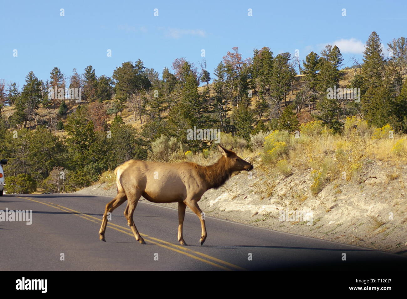 Female doe elk crossing the road with green pine trees on hillside in background. Yellowstone National Park, USA - Stock Image