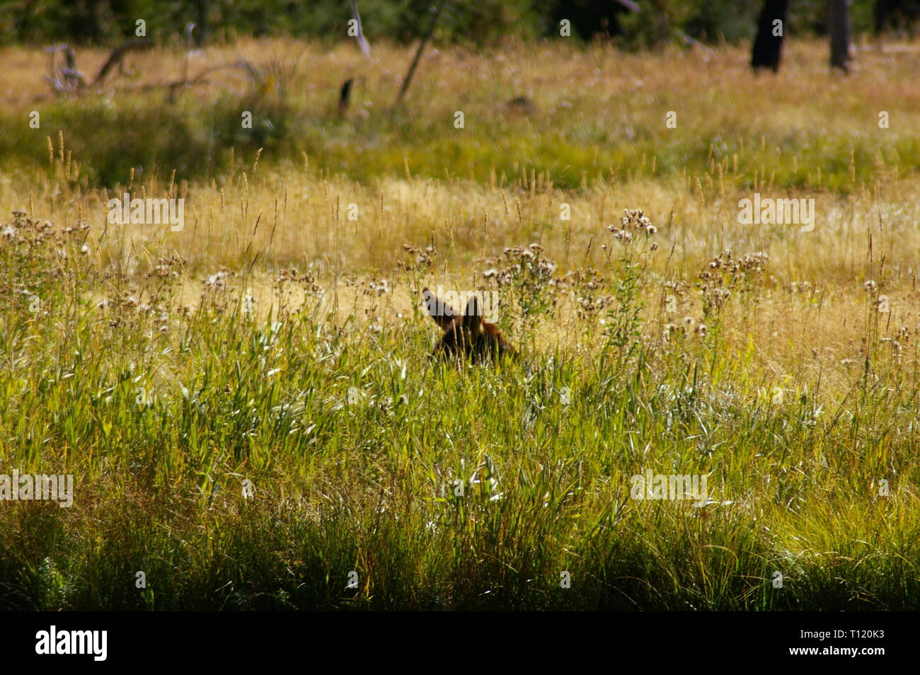 Female cow elk laying in tall grass with only the top of her head and ears visible. Yellowstone National Park, USA - Stock Image