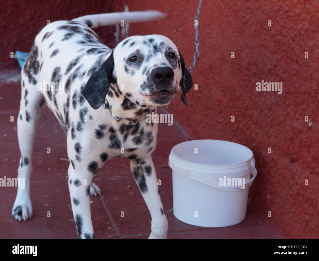 Dog Dalmatian barking outdoor red wall   - Stock Image