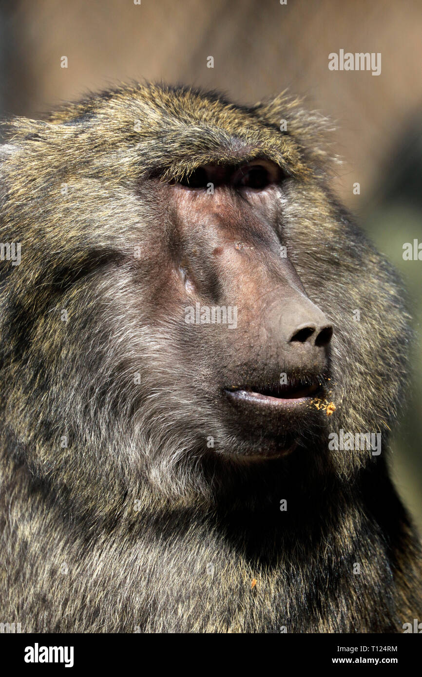 Olive Baboon, Papio anubis, at the Popcorn Park Zoo, Forked River, New Jersey, USA. A Bakari baboon look a like from the TV show Serengeti. Stock Photo