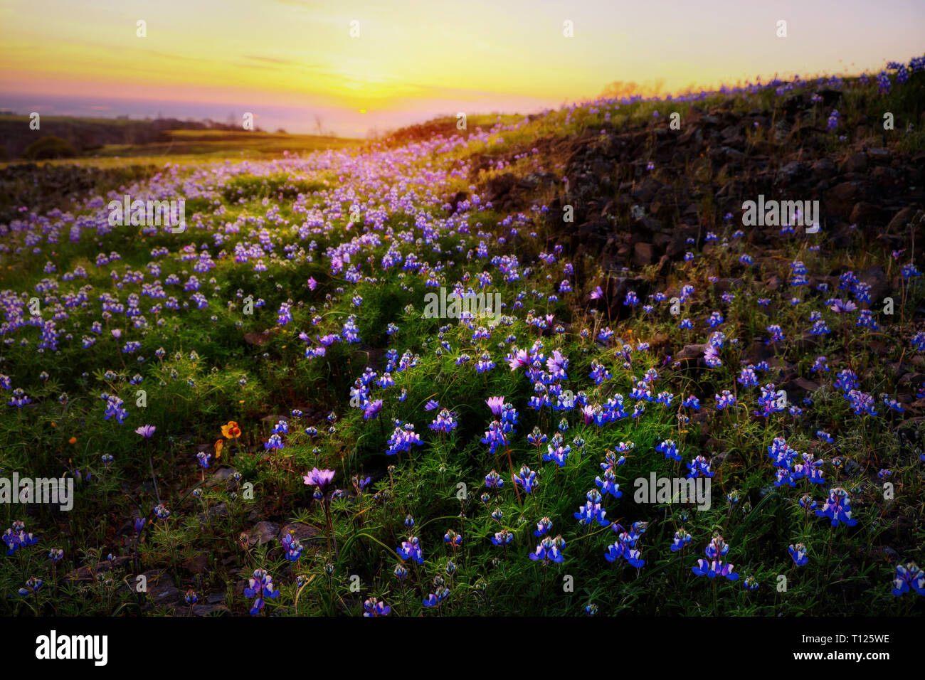 A Tranquil Landscape Of The Sunset Behind A Green Field Full Of Yellow Blue And Purple Wildflowers On Table Mountain In Northern California Stock Photo Alamy
