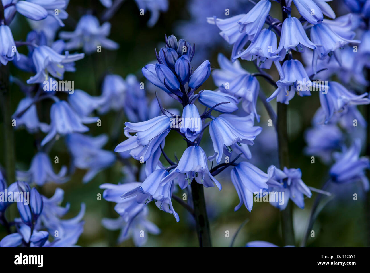 Hyacinthoides hispanica, the Spanish bluebell, in groups with blurred green background - Stock Image