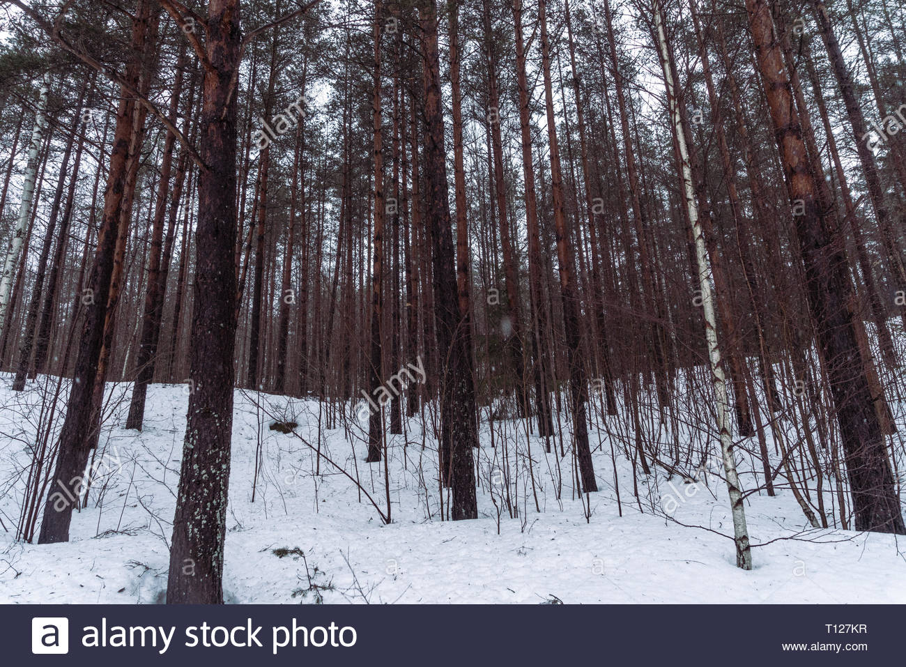 Finland forest - Stock Image
