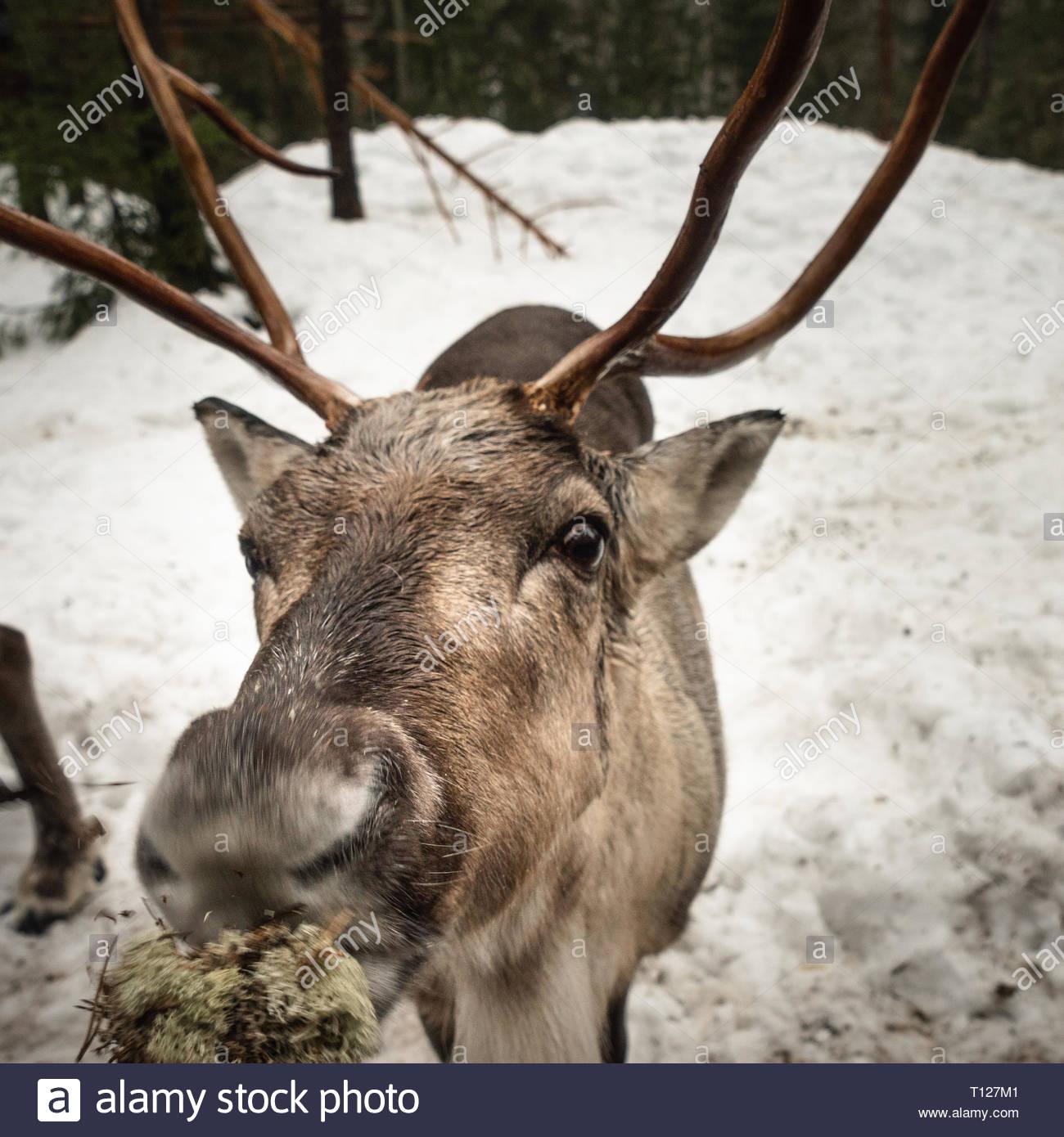 Reindeer eating - Stock Image