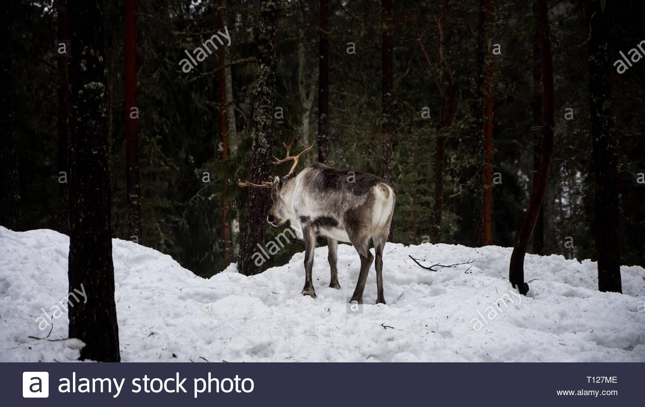Reindeer in the snow - Stock Image