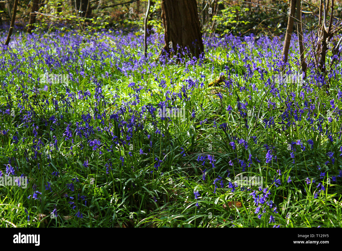 Bluebells in the spring of Orsay forest, France - Stock Image