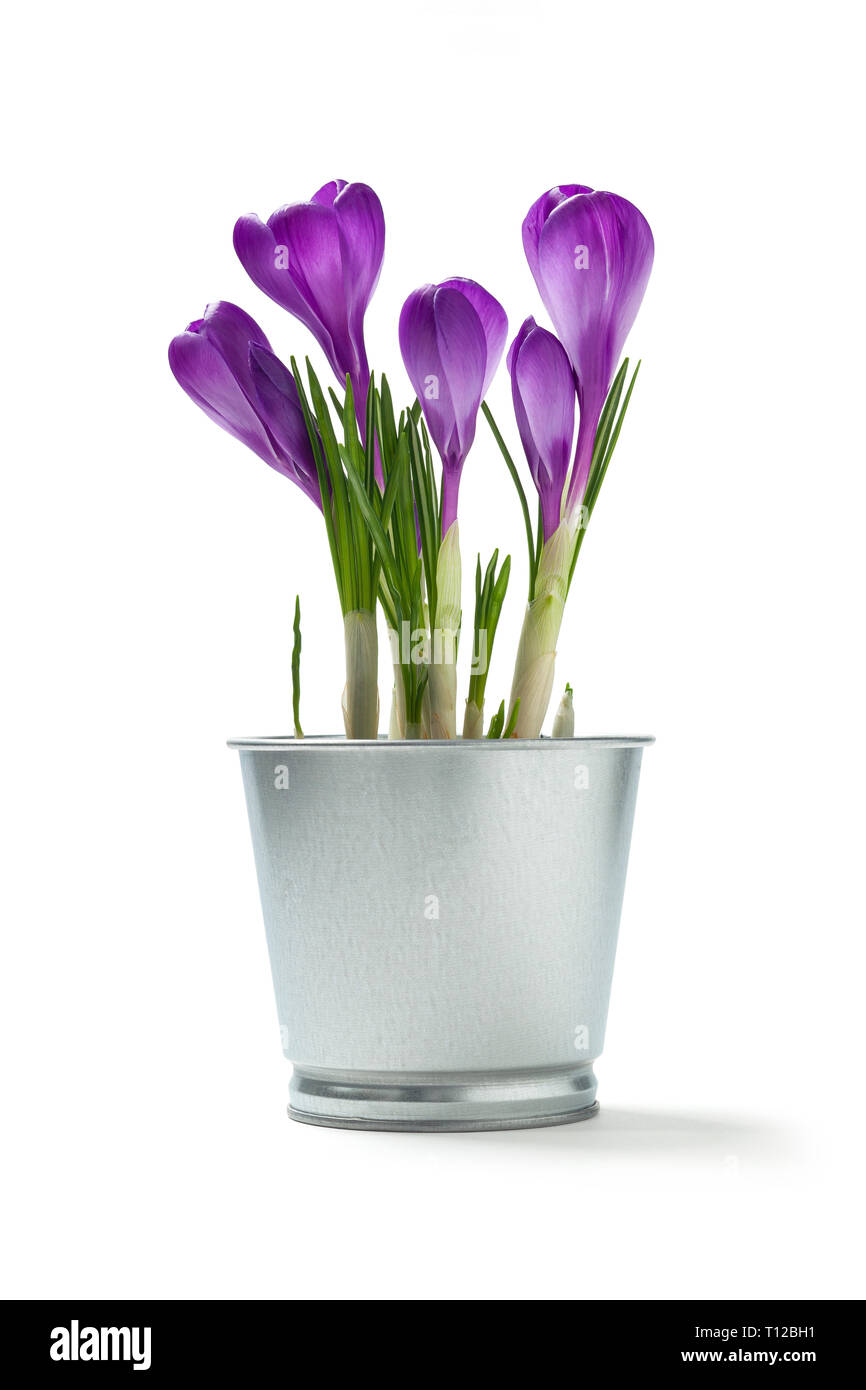 Flowers crocuses in a tin flower pot on a white background - Stock Image