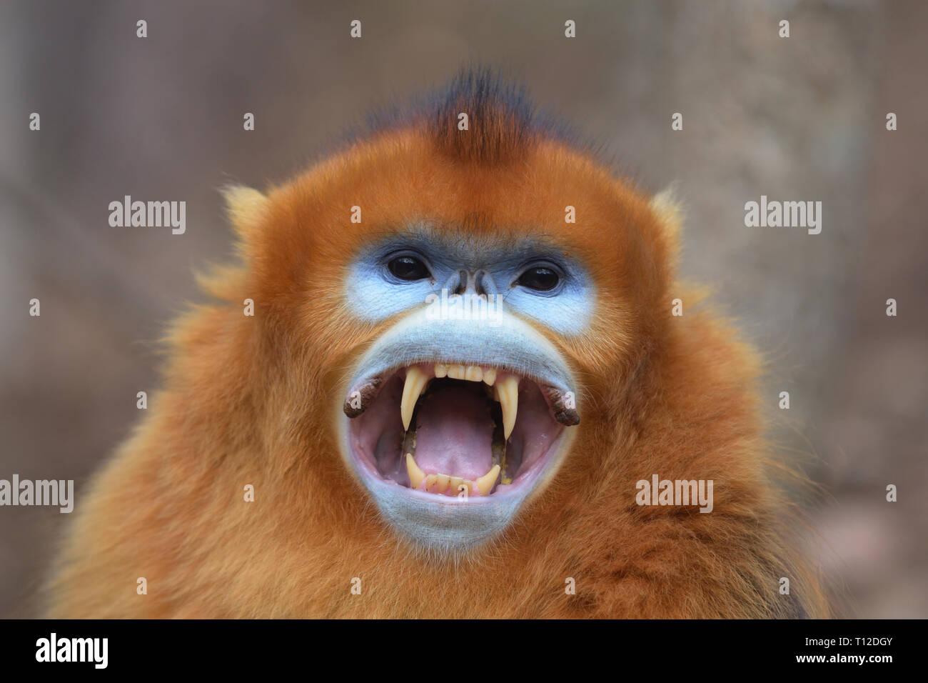 Golden Snub-nosed Monkey (Rhinopithecus roxellana) Adult male showing its fangs - Stock Image