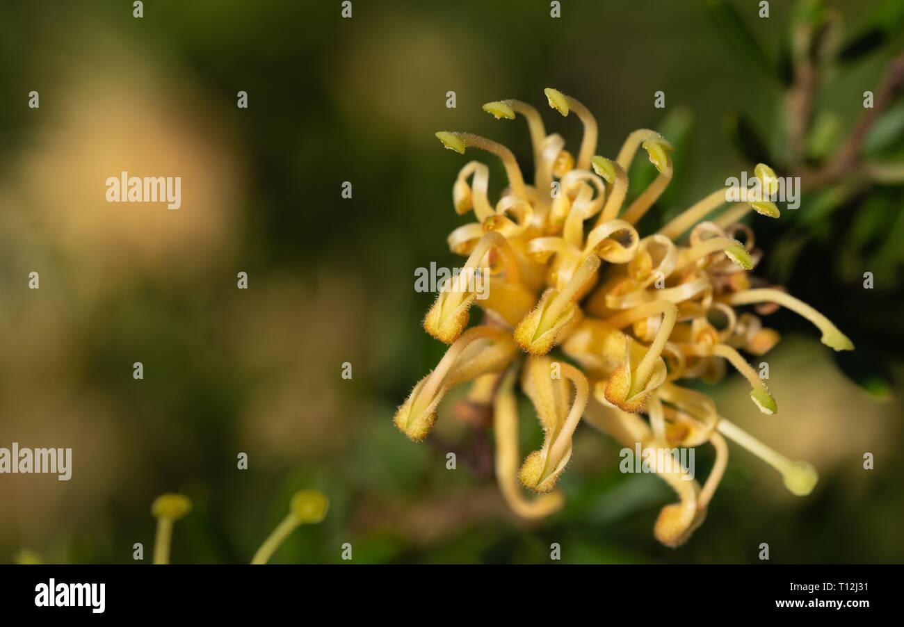 Macro image of yellow grevilliea flower - Stock Image