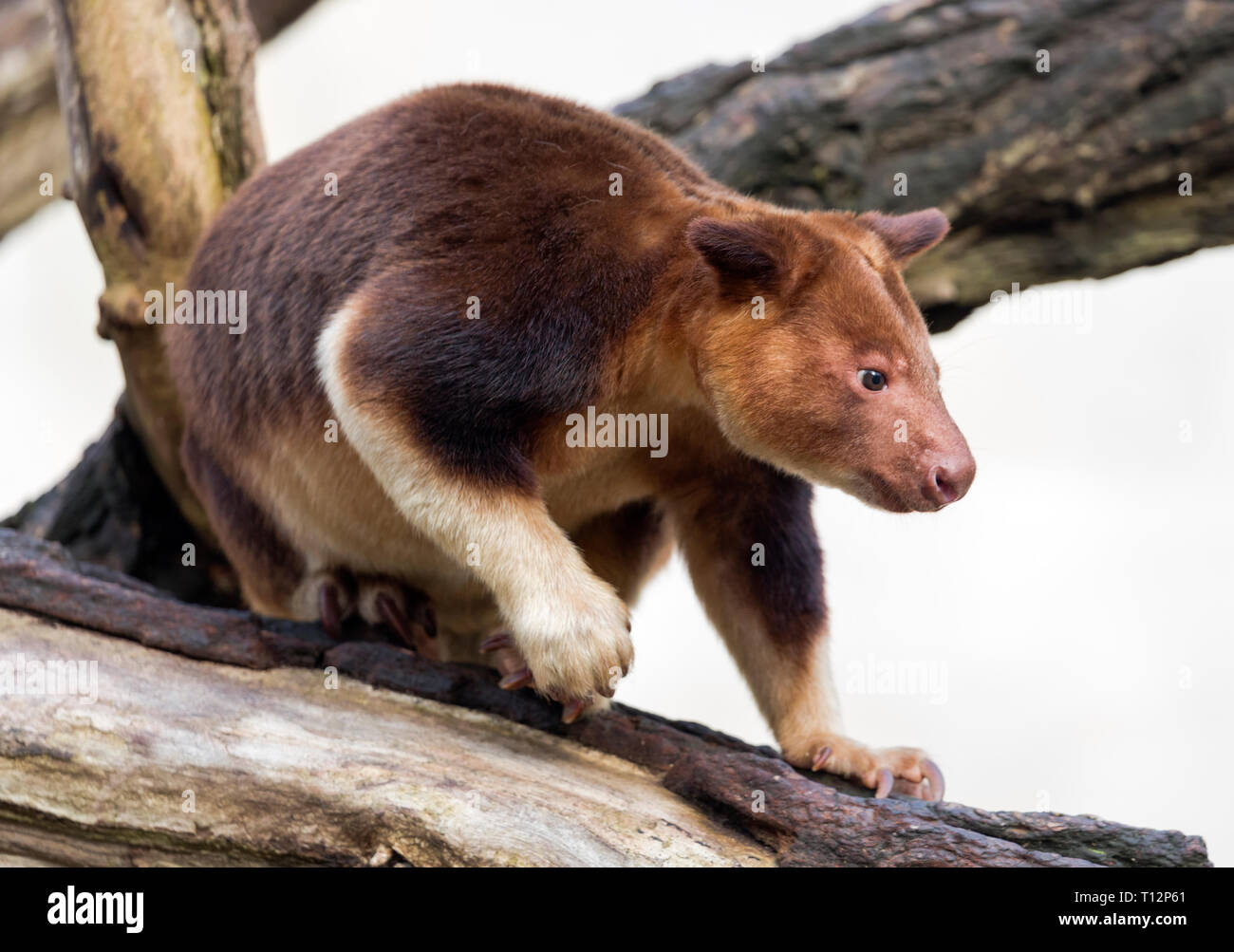 Close up view of a Goodfellow's tree-kangaroo (Dendrolagus goodfellowi) - Stock Image