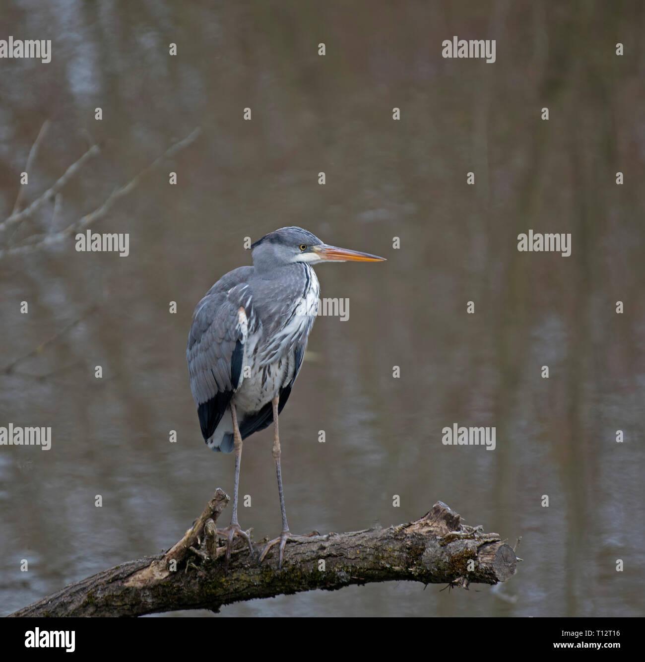 Grey, Heron, Ardea, cineria Stock Photo