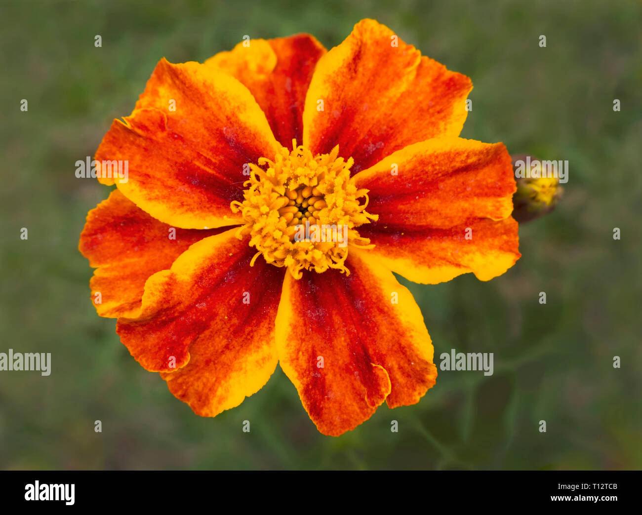 macro of a yellow and orange dwarf french marigold flower on a background of blurred leaves with soft lighting - Stock Image